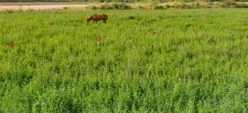 Cheval éloigné frôlant dans un pâturage vert luxuriant Images stock