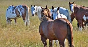 Cheval étant affectueux dans un domaine dans Alberta Image stock