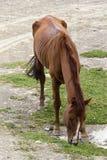 Cheval affamé Images libres de droits