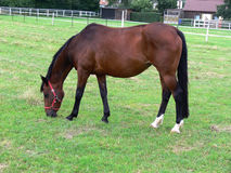 Cheval allemand Image stock