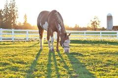 Cheval américain de peinture frôlant au coucher du soleil Photographie stock libre de droits