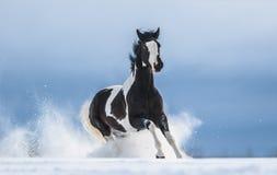 Cheval américain galopant de peinture dans la neige photos stock