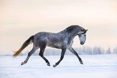 Cheval andalou en hiver photo libre de droits