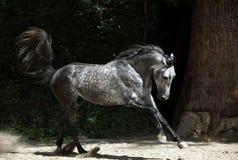 Cheval andalou galopant près de l'écurie image libre de droits
