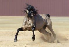 Cheval andalou jouant sur le sable image libre de droits