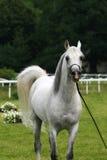 Cheval Arabe Photos stock