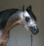 Cheval Arabe Photos stock