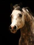 Cheval Arabe photo libre de droits