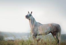 Cheval Arabe Photographie stock libre de droits