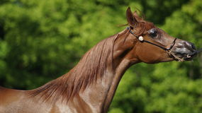 Cheval Arabe Images stock