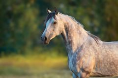 Cheval Arabe blanc photos libres de droits