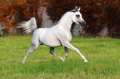 Cheval Arabe blanc Photo libre de droits