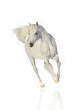 Cheval arabe blanc d'isolement Photo libre de droits