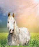 Cheval Arabe blanc sur le pâturage au coucher du soleil Photographie stock