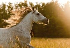 Cheval arabe dans le coucher du soleil Photos stock