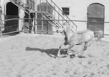 Cheval Arabe dans un ranch arénacé image stock