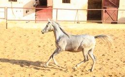 Cheval Arabe dans un ranch arénacé images libres de droits