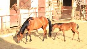 Cheval Arabe dans un ranch arénacé image libre de droits