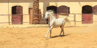 Cheval Arabe dans un ranch arénacé images stock