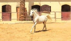 Cheval Arabe dans un ranch arénacé photos libres de droits