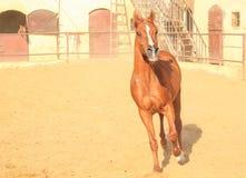 Cheval Arabe dans un ranch arénacé photos stock