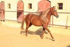 Cheval Arabe dans un ranch arénacé photo libre de droits