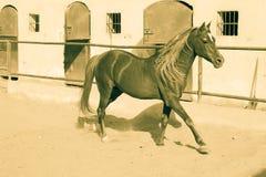 Cheval Arabe dans un ranch arénacé photographie stock libre de droits