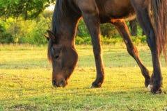 Cheval Arabe de baie foncée grignotant sur l'herbe de ressort Photographie stock