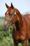 Cheval Arabe de châtaigne bonne avec le licou vert d'exposition Photographie stock