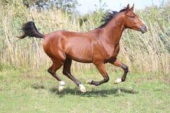 Cheval Arabe de race galopant sur le pâturage contre le roseau vert Images libres de droits