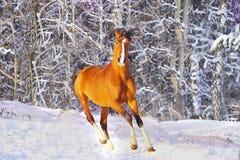 Cheval arabe en hiver Photographie stock libre de droits