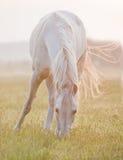 Cheval arabe frôlant sur le lever de soleil Image libre de droits