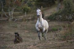 Cheval Arabe galopant vers la caméra photographie stock