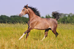 Cheval arabe gris libre en zone d'été Photo stock