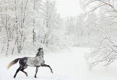 Cheval Arabe gris pommelé sur le champ de neige Photo stock