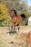 Cheval Arabe magnifique fonctionnant sur le pâturage d'automne Photographie stock libre de droits