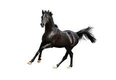 Cheval arabe noir d'isolement sur le blanc Image stock