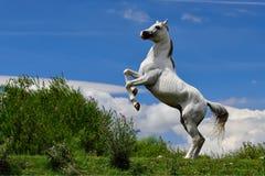 Cheval Arabe pur blanc posant dans des deux jambes Photo libre de droits