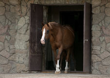 Cheval arabe sortant de l'écurie Images stock