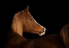 Cheval arabe sur le noir Photos libres de droits