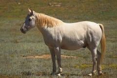 Cheval argenté d'Appaloosa Images libres de droits