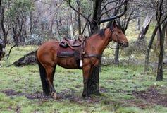 cheval australien images stock