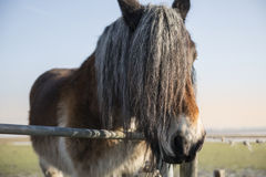 Cheval aux cheveux longs fort photographie stock