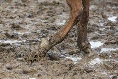 Cheval aux pieds nus dans la boue Photo libre de droits