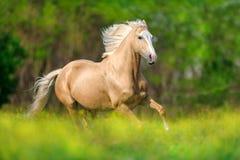 Cheval avec la crinière blonde image libre de droits