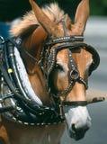 Cheval avec le bras de chalut Photographie stock libre de droits