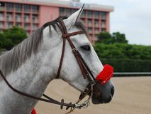 Cheval avec le bras de chalut rouge Images stock
