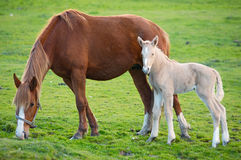 Cheval avec son fils mangeant l'herbe Photos stock