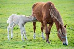 Cheval avec son fils mangeant l'herbe Images stock