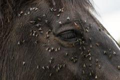 Cheval avec un bon nombre de mouches sur le visage et l'oeil Images libres de droits